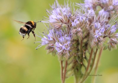 Aardhommel_Bumblebee_Bombus terrestris_marcelloromeo_186