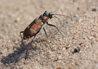 Basterdzandloopkever_northern dune tiger beetle_Cicindela-hybrida_marcelloromeo_360