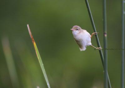 Bosrietzanger_Marsh Warbler_Acrocephalus Palustris_Marcelloromeo_7859