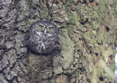 Dwerguil_Pygmy-Owl_Glaucidium-Passerinum_marcelloromeo_3430