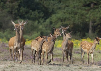 Edelhert_Red Deer_Cervus Elaphus_Marcelloromeo_11543