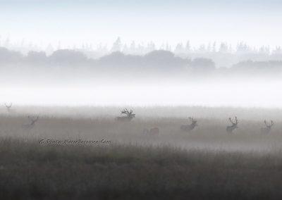 Edelhert_Red Deer_Cervus Elaphus_Marcelloromeo_11710