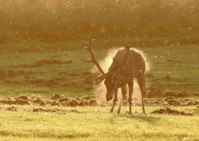Edelhert_Red Deer_Cervus Elaphus_Marcelloromeo_11858