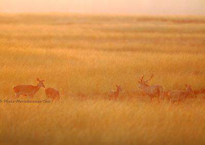 Edelhert_Red Deer_Cervus Elaphus_Marcelloromeo_11957