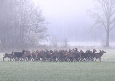 Edelhert_Red Deer_Cervus Elaphus_marcelloromeo_9956