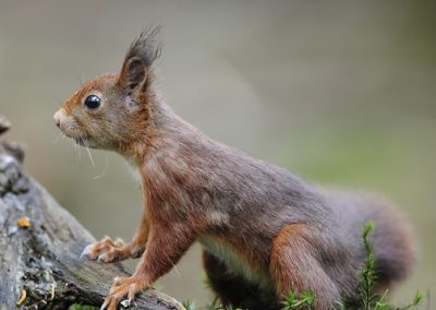 Eekhoorn_Red Squirrel_Sciurus Vulgaris_Marcelloromeo_11952