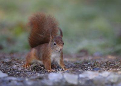 Eekhoorn_Red Squirrel_Sciurus Vulgaris_Marcelloromeo_6538