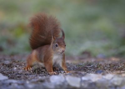 Eekhoorn_Red Squirrel_Sciurus Vulgaris_Marcelloromeo_6538