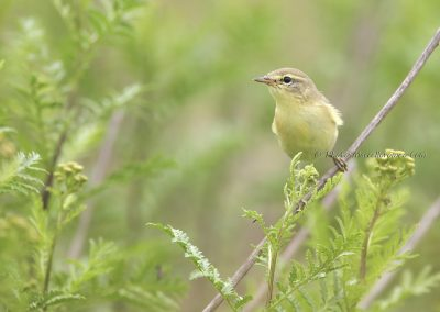 Fitis_Willow Warbler_Phylloscopus trochilus_Marcelloromeo_11072