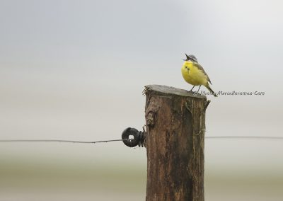 Gele Kwikstaart_western Yellow Wagtail_Motacilla Flava_Marcelloromeo_10385