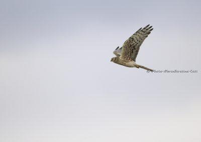 Grauwe Kiekendief_Montagus Harrier_Circus Pygargus_Marcelloromeo_7415