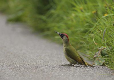 Groene Specht_Green Woodpecker_Picus Viridis_Marcelloromeo_4869