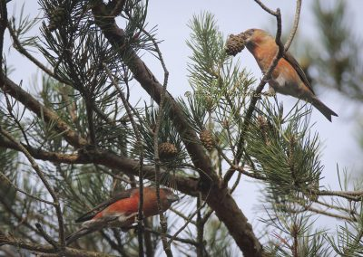 Grote Kruisbek_Parrot Crossbill_Loxia pytyopsittacus_Marcelloromeo_12013