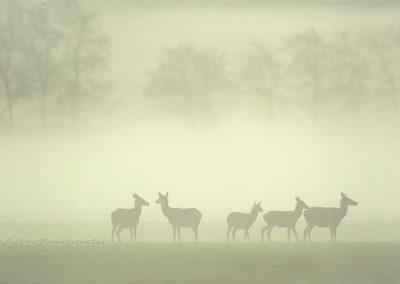 Hindes_Kaalwild_Red Deer Doe_Cervus Elaphus_marcelloromeo_2314