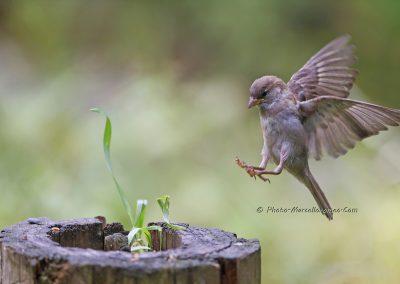 HuismusHouse SparrowPasser Domesticus_Marcelloromeo_ 5389
