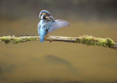 IJsvogel_Kingfisher_Alcedo Atthis_marcelloromeo_10072