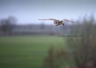 Kerkuil_Barn Owl_Tyto Alba_Marcelloromeo_8908