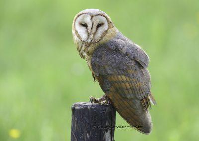 Kerkuil_Barn Owl_Tyto Alba_marcelloromeo_3396