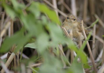 Kleine Karekiet_Reed Warbler_Acrocephalus Scirpaceus_Marcelloromeo_11196