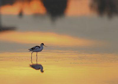 Kluut_Pied-Avocet_Recurvirostra-avosetta_marcelloromeo_3168