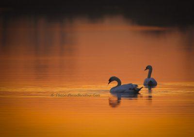 Knobbelzwaan_Mute Swan_Cygnus Olor_marcelloromeo_6326