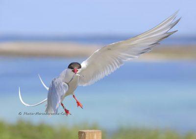 Noordse Stern_Arctic Tern_Sterna Paradisaea_Marcelloromeo_8206