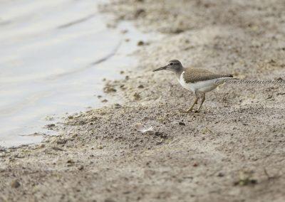Oeverloper;Common Sandpiper;Actitis Hypoleucos