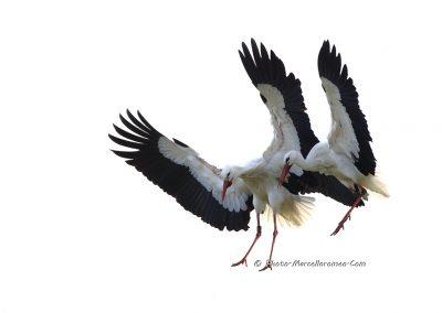 Ooievaar_White Stork_Ciconia Ciconia_Marcelloromeo_6858