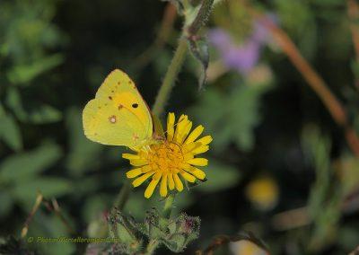 Oranje Luzernevlinder_Dark Clouded Yellow_Colias croceus_Marcelloromeo260