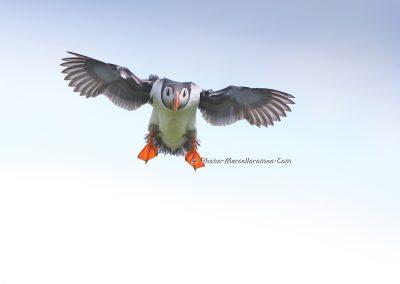 Papegaaiduiker_Atlantic puffin_Fratercula Arctica_Marcelloromeo_8225