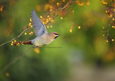 Pestvogel_Bohemian Waxwing_Bombicylla Garrulus_Marcelloromeo_8947