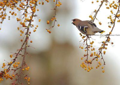 Pestvogel_Bohemian Waxwing_Bombycilla Garrulus_Marcelloromeo_8948