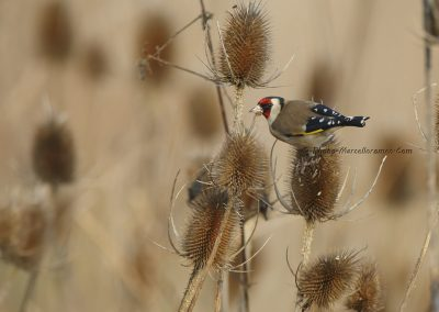 Putter_Goldfinch_Carduelis Carduelis_marcelloromeo_9138