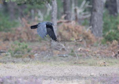 Raaf_Common Raven_Corvus Corax_Marcelloromeo_11539