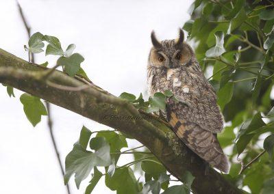 Ransuil_Long-eared Owl_Asio Otus_marcelloromeo_9732