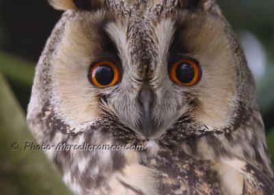 Ransuil_Long-eared Owl_Asio Otus_marcelloromeo_9733