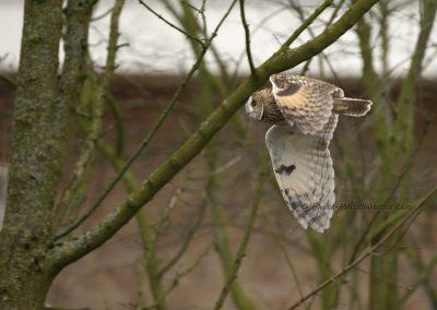 Ransuil_Long-eared Owl_Asio Otus_marcelloromeo_9735