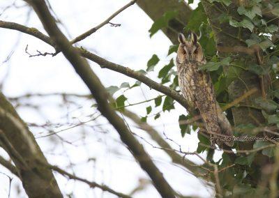 Ransuil_Long-eared Owl_asio Otus_marcelloromeo_9077