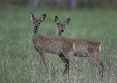Reekalfjes_Roe Deer_Capreolus-Capreolus_marcelloromeo_2753