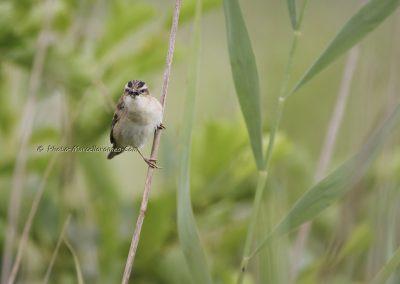 Rietzanger_Sedge Warbler_Acrocephalus Schoenobaenus_Marcelloromeo_11281