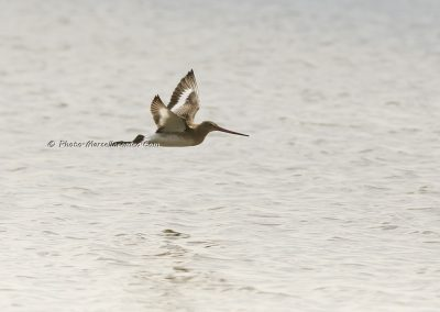 Rosse Grutto_Bar-tailed Godwit_Limosa Lapponica_Marcelloromeo_11189