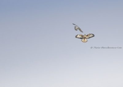 Slechtvalk valt Buizerd aan_Peregrine Falcon attacks Common Buzzard _Falco Peregrinus_Buteo Buteo _Marcelloromeo_12070