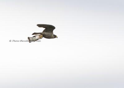 Slechtvalk_Peregrine Falcon_Falco Peregrinus_Marcelloromeo_10993