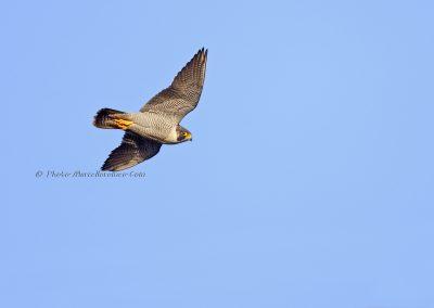 Slechtvalk_Peregrine Falcon_Falco Peregrinus_Marcelloromeo_6923