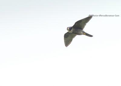 Slechtvalk_Peregrine Falcon_Falco Peregrinus_marcelloromeo_9990