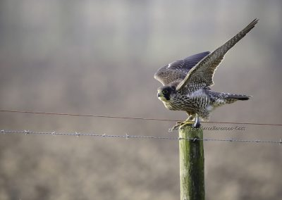 Slechtvalk_Peregrine Falcon_Falco peregrinus_Marcelloromeo_4394