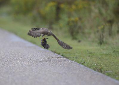 Sperwer_Sparrow Hawk_Accipiter Nisis_Marcelloromeo_8008