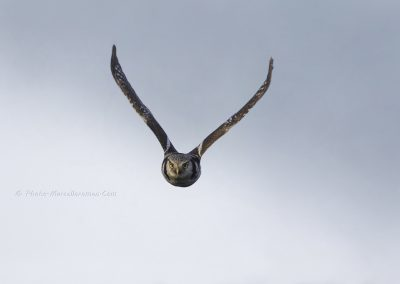 Sperweruil_Northern-Hawk-Owl_Surnia-ulula_marcelloromeo_3301B