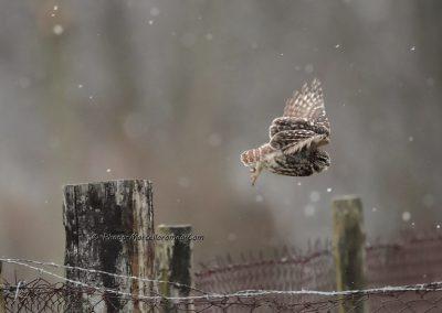 Steenuil_Little Owl_Athene-Noctua_marcelloromeo