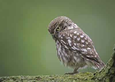 Steenuil_Little-Owl_Athene-Noctua_marcelloromeo_4138